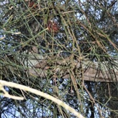 Amyema cambagei (Needle-leaf Mistletoe) at Jervis Bay Marine Park - 28 Sep 2020 by plants