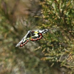 Delias aganippe (Spotted Jezebel) at Namadgi National Park - 27 Sep 2020 by RodDeb
