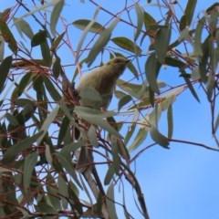 Ptilotula fusca (Fuscous Honeyeater) at Namadgi National Park - 27 Sep 2020 by RodDeb