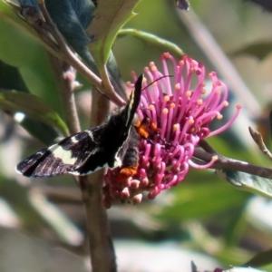 Phalaenoides glycinae at ANBG - 28 Sep 2020