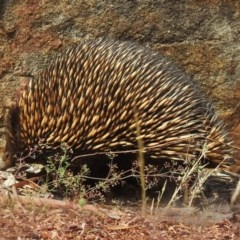 Tachyglossus aculeatus (Short-beaked Echidna) at ANBG - 28 Sep 2020 by RodDeb