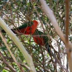Alisterus scapularis (Australian King-Parrot) at ANBG - 28 Sep 2020 by RodDeb