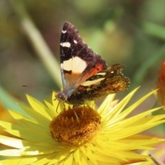 Vanessa itea (Yellow Admiral) at ANBG - 28 Sep 2020 by RodDeb