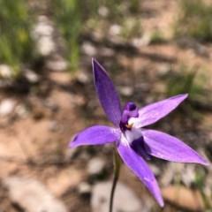 Glossodia major (Wax lip orchid) at Throsby, ACT - 28 Sep 2020 by JasonC