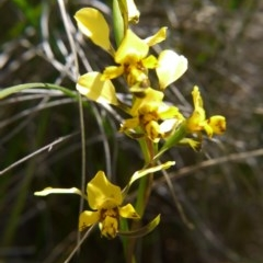 Diuris nigromontana (Black mountain leopard orchid) at Black Mountain - 29 Sep 2020 by ClubFED