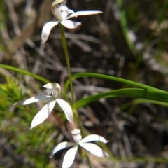 Caladenia ustulata (Brown caps) at ANBG - 29 Sep 2020 by ClubFED