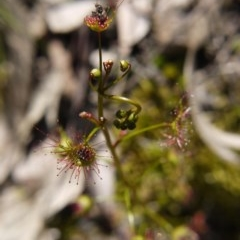 Drosera sp. at Black Mountain - 29 Sep 2020 by ClubFED