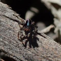 Maratus chrysomelas (Variable Peacock Spider) at Kuringa Woodlands - 29 Sep 2020 by Laserchemisty