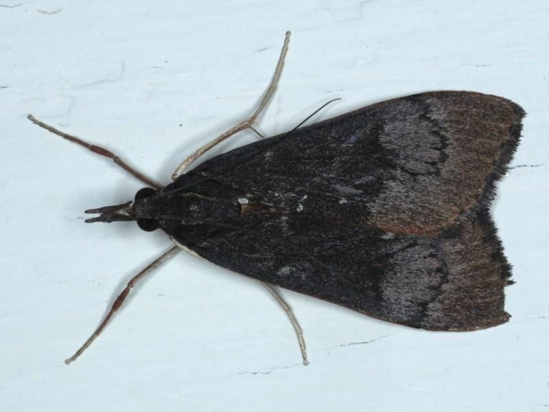 Uresiphita ornithopteralis at Ainslie, ACT - 28 Sep 2020