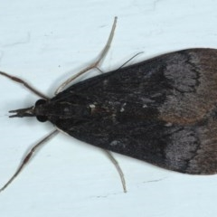 Uresiphita ornithopteralis (Tree Lucerne Moth) at Ainslie, ACT - 28 Sep 2020 by jbromilow50