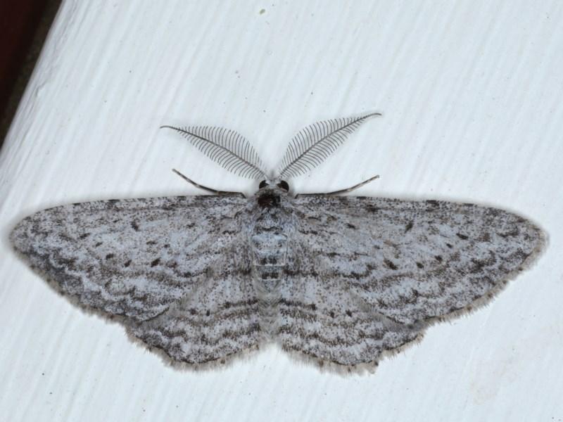 Phelotis cognata at Ainslie, ACT - 28 Sep 2020