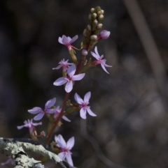 Stylidium sp. (Trigger Plant) at Wee Jasper, NSW - 29 Sep 2020 by JudithRoach