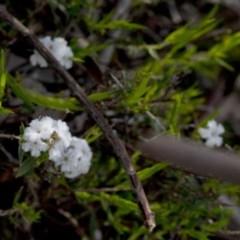Leucopogon virgatus (Common Beard-heath) at Wee Jasper Nature Reserve - 29 Sep 2020 by JudithRoach
