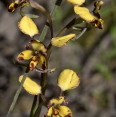 Diuris pardina (Leopard doubletail) at Wee Jasper Nature Reserve - 29 Sep 2020 by JudithRoach