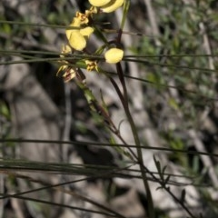 Diuris pardina (Leopard doubletail) at Wee Jasper, NSW - 29 Sep 2020 by JudithRoach