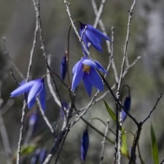Stypandra glauca (Nodding Blue Lily) at Wee Jasper Nature Reserve - 29 Sep 2020 by JudithRoach