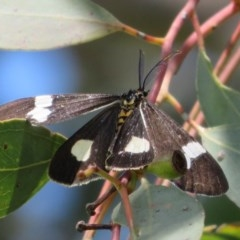 Nyctemera amicus (Senecio or Magpie moth) at Sherwood Forest - 29 Sep 2020 by Christine
