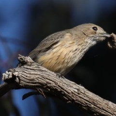 Pachycephala rufiventris (Rufous Whistler) at Mount Ainslie - 28 Sep 2020 by jbromilow50