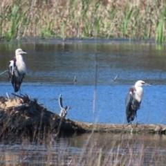 Ardea pacifica at Jerrabomberra Wetlands - 28 Sep 2020