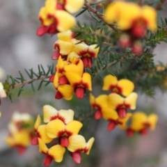 Dillwynia phylicoides (A Parrot-pea) at Black Mountain - 29 Sep 2020 by Sarah2019