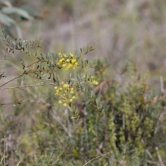 Acacia buxifolia subsp. buxifolia (Box-leaf Wattle) at O'Connor, ACT - 29 Sep 2020 by AllanS