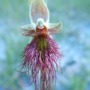 Calochilus paludosus at Meroo National Park - 29 Sep 2020