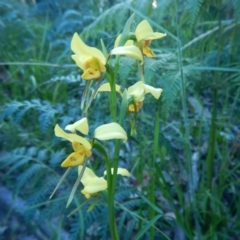 Diuris aurea at Meroo National Park - 29 Sep 2020