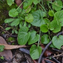 Viola odorata (Sweet Violet) at Wamboin, NSW - 8 Aug 2020 by natureguy