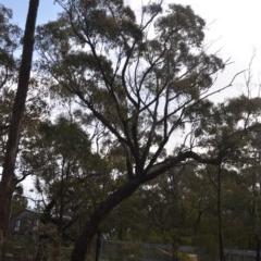 Eucalyptus bridgesiana (Apple Box) at Wamboin, NSW - 8 Aug 2020 by natureguy