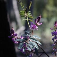 Indigofera australis subsp. australis (Australian Indigo) at Bruce, ACT - 28 Sep 2020 by AllanS