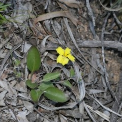 Goodenia hederacea subsp. hederacea (Ivy Goodenia, Forest Goodenia) at Gossan Hill - 28 Sep 2020 by AllanS