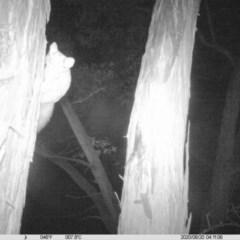 Petaurus norfolcensis (Squirrel Glider) at Baranduda, VIC - 19 Aug 2020 by DMeco
