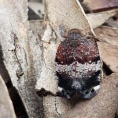 Platybrachys sp. (genus) (A gum hopper) at Bruce Ridge - 30 Sep 2020 by tpreston