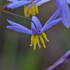 Stypandra glauca (Nodding Blue Lily) at Dryandra St Woodland - 29 Sep 2020 by ConBoekel