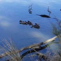 Chenonetta jubata (Australian Wood Duck) at Lake Ginninderra - 28 Sep 2020 by AllanS