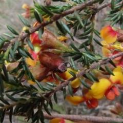 Melobasis propinqua (Propinqua jewel beetle) at Tuggeranong Hill - 30 Sep 2020 by Owen