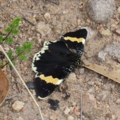 Eutrichopidia latinus (Yellow-banded Day-moth) at Tuggeranong Hill - 30 Sep 2020 by Owen