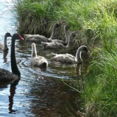 Cygnus atratus (Black Swan) at Yerrabi Pond - 27 Sep 2020 by TrishGungahlin