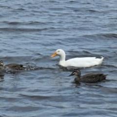 Anas platyrhynchos (Domestic) (Mallard (Domestic Type)) at Yerrabi Pond - 30 Sep 2020 by TrishGungahlin