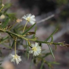 Acacia genistifolia (Early Wattle) at Dryandra St Woodland - 29 Sep 2020 by ConBoekel