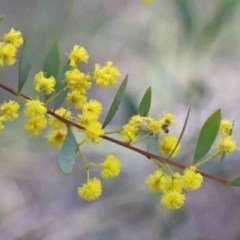 Acacia buxifolia subsp. buxifolia (Box-leaf Wattle) at Dryandra St Woodland - 29 Sep 2020 by ConBoekel
