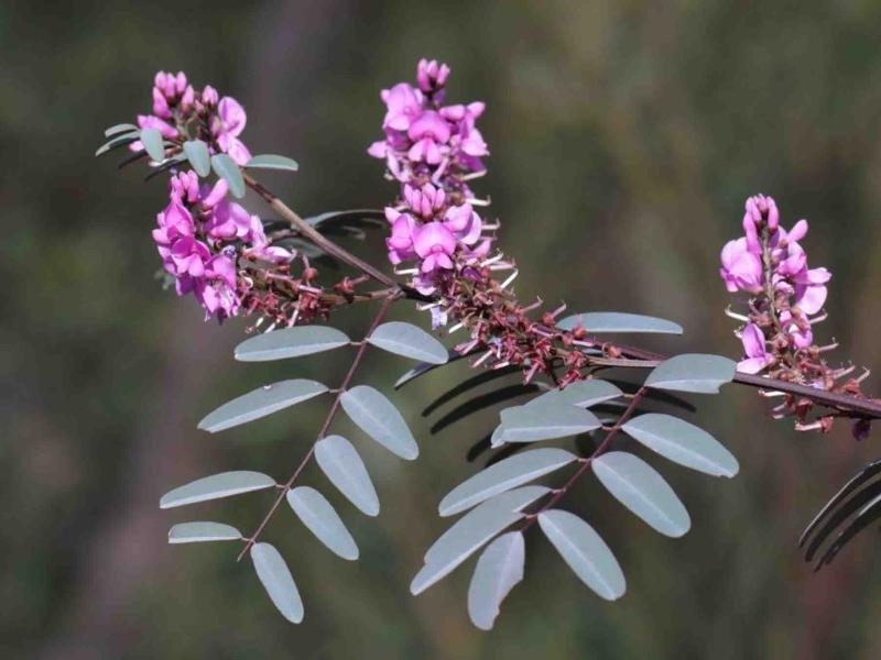 Indigofera australis subsp. australis at Dryandra St Woodland - 29 Sep 2020