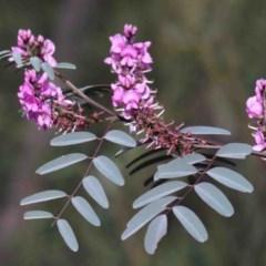 Indigofera australis subsp. australis (Australian Indigo) at Dryandra St Woodland - 29 Sep 2020 by ConBoekel