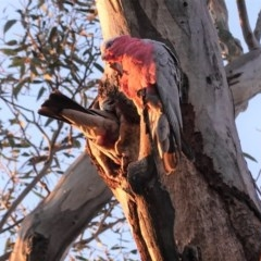 Eolophus roseicapillus (Galah) at Red Hill Nature Reserve - 27 Sep 2020 by JackyF