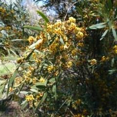 Daviesia mimosoides (Bitter Pea) at Hughes Grassy Woodland - 28 Sep 2020 by JackyF