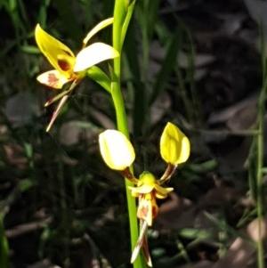 Diuris sulphurea at Meroo National Park - 28 Sep 2020