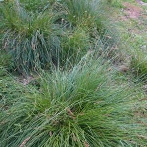 Carex appressa at Red Hill Nature Reserve - 29 Sep 2020