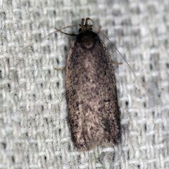 Oecophorinae indeterminate species 1 at O'Connor, ACT - 29 Sep 2020 by ibaird