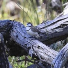 Taeniopygia bichenovii (Double-barred Finch) at The Pinnacle - 28 Sep 2020 by Alison Milton