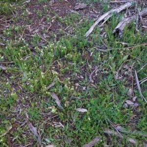 Asperula conferta at Red Hill Nature Reserve - 27 Sep 2020